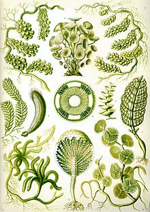 Green Algae by Ernst Haeckel 1904